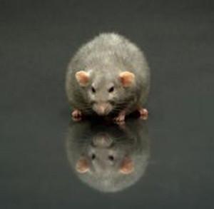 newport beach rodent control